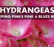 how to keep hydrangeas in the pink or blue, flowers, gardening, hydrangea