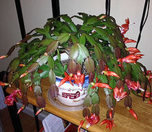 it s halloween cactus time again, christmas decorations, gardening, halloween decorations, seasonal holiday d cor