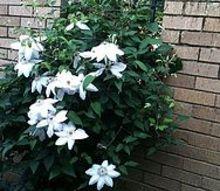 clemantis winterizing for beautiful spring growth, flowers, gardening, June 2012