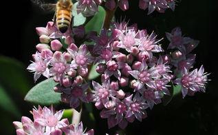 great perennials for sun all of them deer resistant, flowers, gardening, perennials