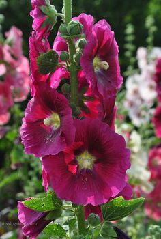 volunteers that lend a gardener an unrequested helping hand, flowers, gardening, perennials, Hollyhocks a biennial plant that reseeds itself after it flowers and then blooms the following summer Full sun
