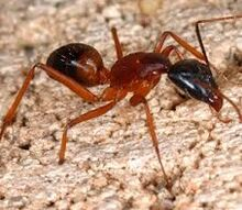 fire ants, electrical, pest control, Fire Ant