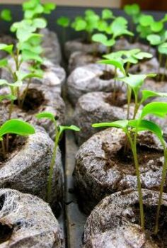 common seed starting problems and how to fix them, gardening, Legginess and stunted growth are also big problems when it comes to indoor seed starting