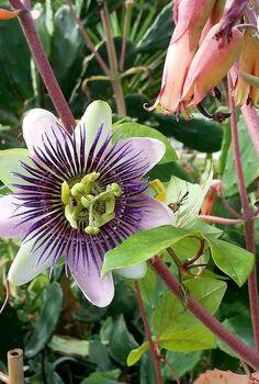 passiflora alatocaerulea, flowers, gardening, Passiflora Alatocaerulea Vero Beach Fl 1 1 13