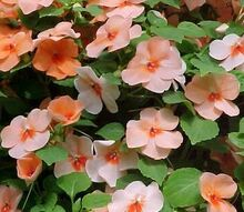 sound off on the plants you love to hate, gardening, Do you share Anne Raver s dislike of the impatiens