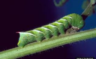 learning about the tomato hornworm, pets animals