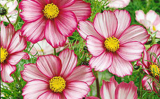 cosmos so easy to grow you can plant and neglect it, flowers, gardening
