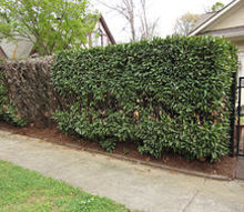 any thoughts on what happened to this english laurel hedge, landscape, outdoor living, Notice the large dead spot on the far left of the hedge and what appears to continue along the hedge to the right