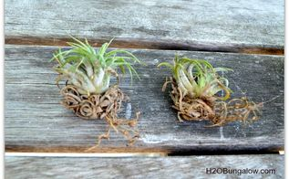 how to care for air plants so they grow multiply, gardening