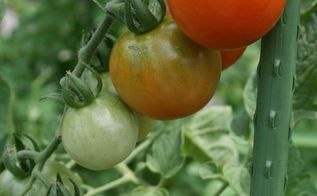 companion planting for tomatoes, flowers, gardening, Organically grown pest free cherry Tomatoes