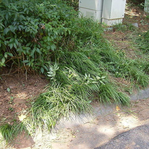 how to get rid of liriope