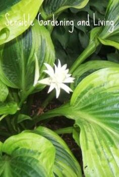 growing hosta the perfect shade plant, flowers, gardening, Hosta in bloom Many are very fragrant
