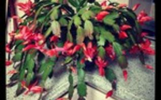 how my christmas cactus bloomed for halloween, gardening