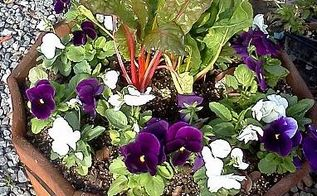 10 tips for a beautiful seasonal color bed, container gardening, flowers, gardening, round container using primary bold colors Center planted with taller Bright lights chard because it will be viewed from all sides