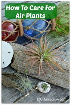 how to care for air plants so they grow multiply, gardening, Air plants are easy to grow just about anywhere