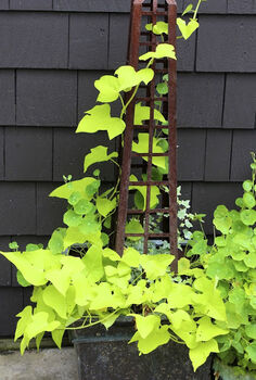 who needs flowers to create a beautiful planter, flowers, gardening, Lime green potato vine variegated ivy and nasturtium leaves add some much needed colour to this metal planter