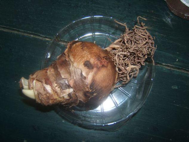 How To Grow An Amaryllis Hometalk