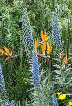 horticultural hocus pocus at longwood gardens, flowers, gardening, Strelitzia juncea Echium candicans