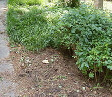 q what s an effective way to get rid of liriope my entire front yard, gardening, You can see here where i ve started digging up the stuff but see behind the bare spot where it stretches back for maybe 15 more feet or more
