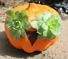 succulent pumpkin owl, flowers, gardening, seasonal holiday d cor, succulents, All you need is succulents potting soil and a Dollar Store pumpking