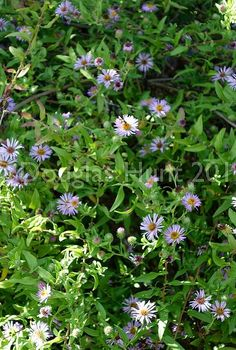 a wonderful aster for the south, flowers, gardening, Climbing aster provides a mass of blooms relished by bees