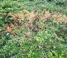 our lawn company says we have spider mites on our boxwood shrubs and they must spray, pest control
