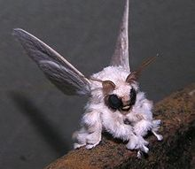 cute or creepy, neotropical ornamental moth say that five times fast