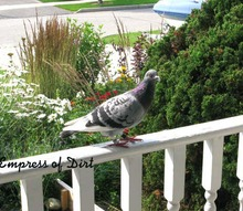 an unexpected new gardening friend, gardening, pets animals, I came home one day to find this pigeon waiting at the front door