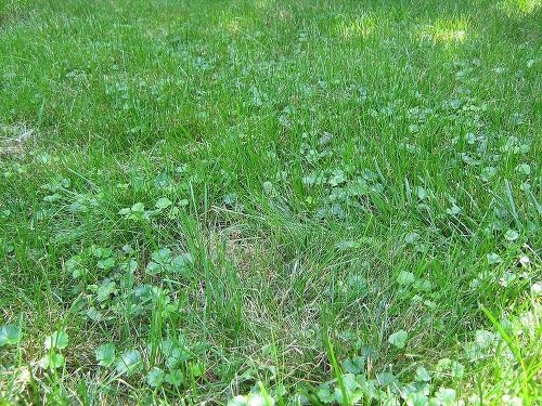 how to kill creeping vines in my grass