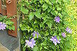 trying to turn and black thumb into a green thumb try try try, flowers, gardening, hydrangea, Purple Clematis is bursting