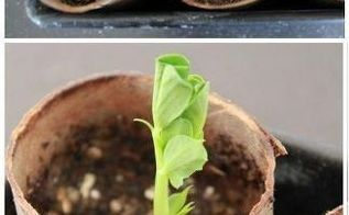 toilet paper roll seed starters, gardening, repurposing upcycling, Start Seedlings Indoors