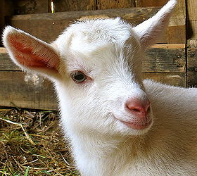 5 Best Dairy Goat Breeds for the Homestead | Hometalk
