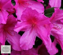 the azaleas are blooming, flowers, gardening, Hot pink azaleas a sure sign of spring