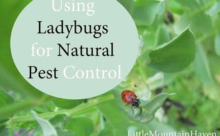 natural pest control using ladybugs, gardening, go green, homesteading, pest control