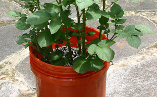 planting white potatoes in a tub or bucket, gardening, potatoes in a bucket