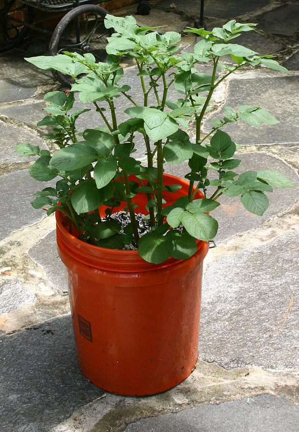 how to grow potatoes in a tub