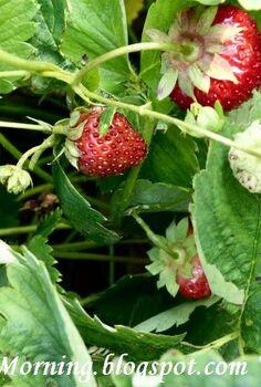 q raising strawberries, gardening, Strawberries in my garden