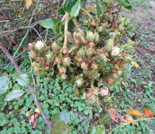 q garden question rose bush louisville ky, gardening, I would love to know what is going on with this bush