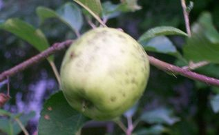 q black spots on my apples, gardening, One of a dozen pink lady apples with black spots