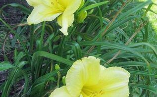 hibiscus house daylily showcase series the yellow daylily, flowers, gardening, hibiscus