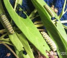 monarch caterpillars, flowers, gardening, pets animals