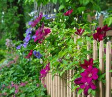 clematis along our fence, fences, flowers, gardening, The colorful scene in our Fence Garden today