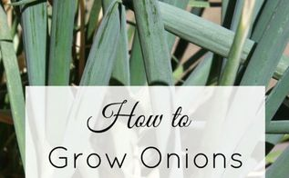 how to grow onions from kitchen scraps in 3 easy steps, gardening