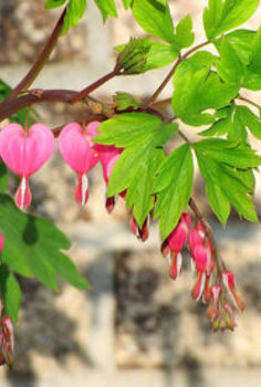 my five favorite perennials, flowers, gardening, perennials, Bleeding Heart Dicentra
