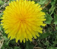q does anyone know where to buy dandelion flowers, flowers, gardening, I found one Now I just need about 100 more