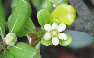 year round flower garden ideas, flowers, gardening, Plant plants with berries like Pittosporum
