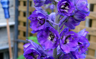 tip for planting delphinium seeds in fall and more, gardening, The dark colours are my favoourite