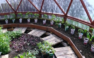 yogurt container make perfect tomato planters, container gardening, gardening, All grown and ready to go into the ground