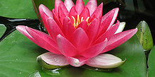 popular hardy waterlilies for your pond, flowers, gardening, outdoor living, ponds water features, Red Attraction 6 to 8 dark red flower Green leaves Enjoys full sun