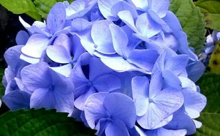 there is simply no excuse for not having a hydrangea in your life, flowers, gardening, hydrangea
